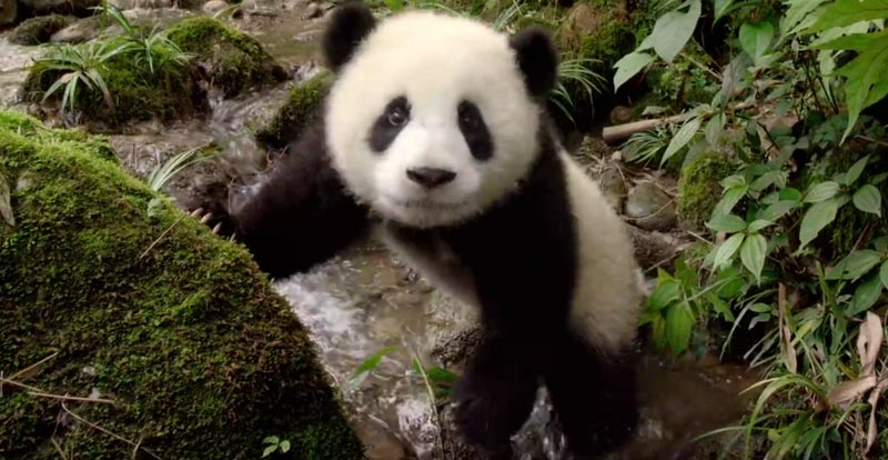 Cute bear overload coming with Pandas